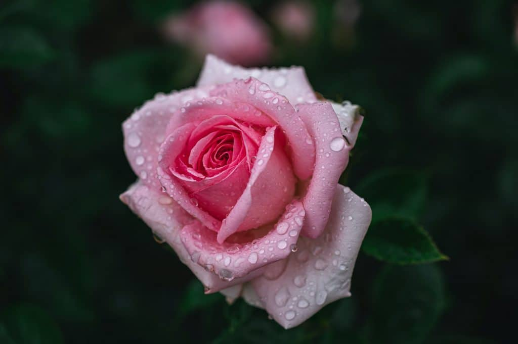 A Rose Opens - Chapter 1